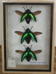 Sternocera Aeguisignata Jewel Beetles Taxidermy
